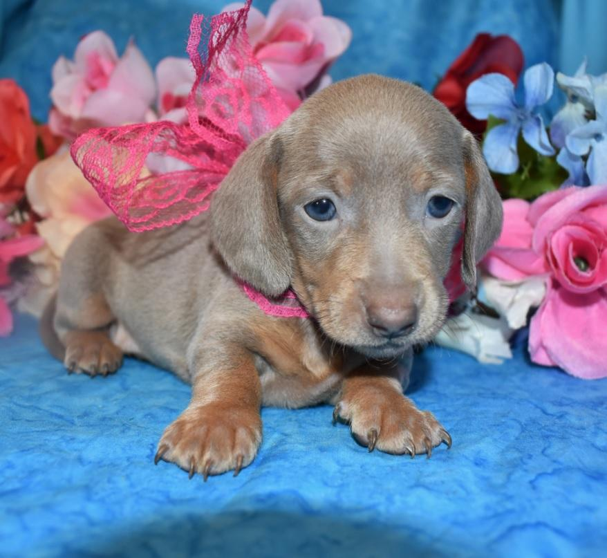 female isabelle tan smooth coat miniature dachshund puppies for sale near me