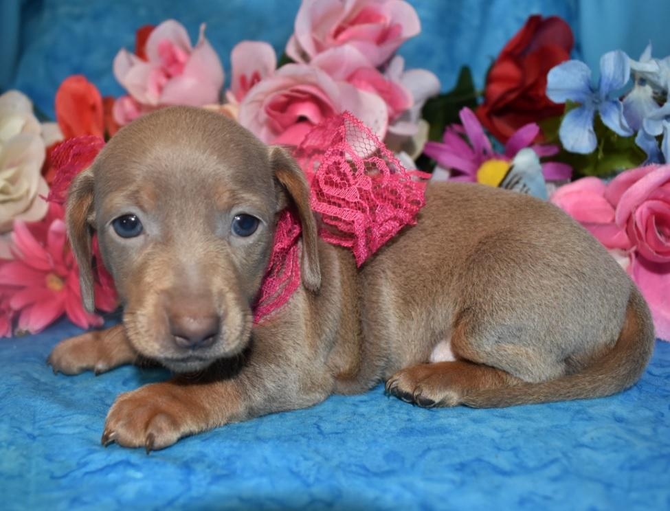 female isabelle tan smooth coat miniature dachshund puppies