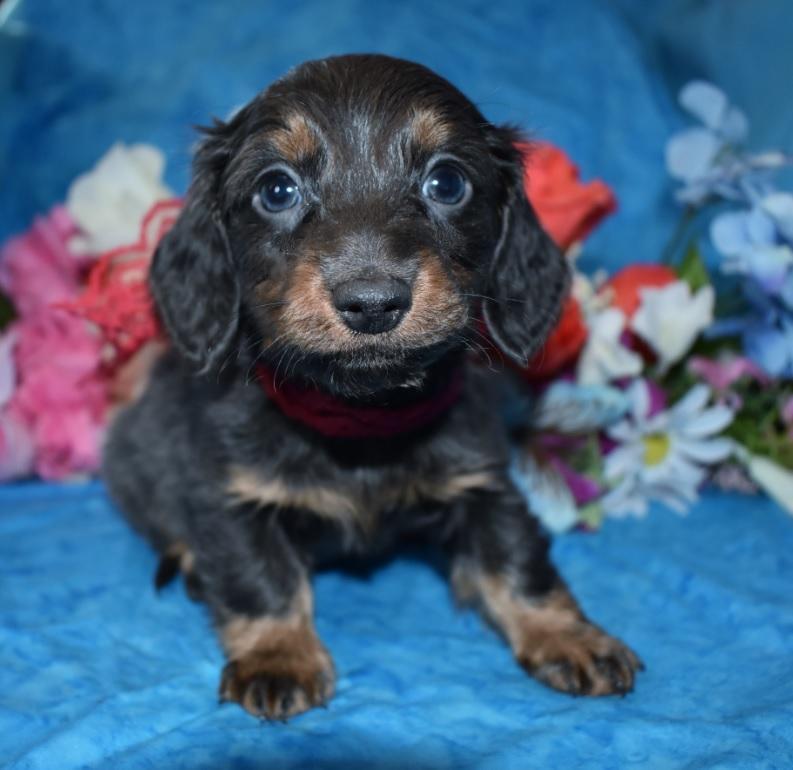 longhair miniature dachshund puppies for sale