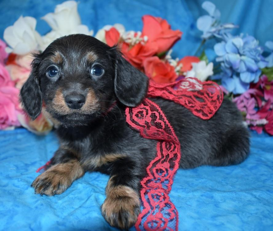 Taz-blue-tan-longhair-miniature-dachshund6.4