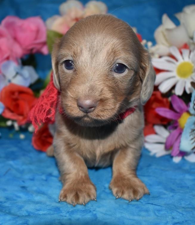 AKC Male Isabelle Tan Longhair Miniature Dachshund puppies for sale near me