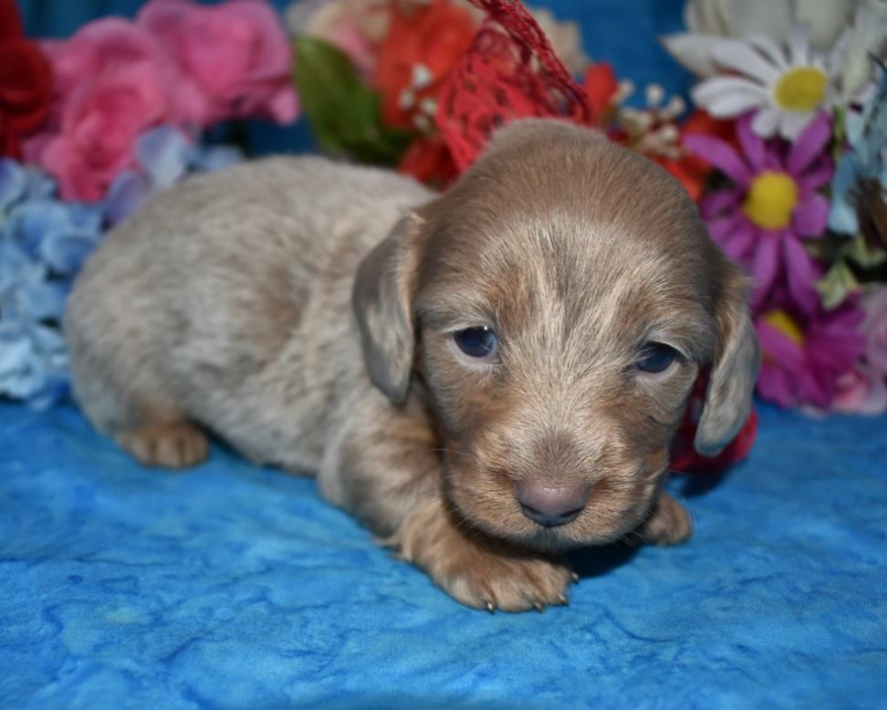 isabelle tan longhair miniature dachshund puppies for sale