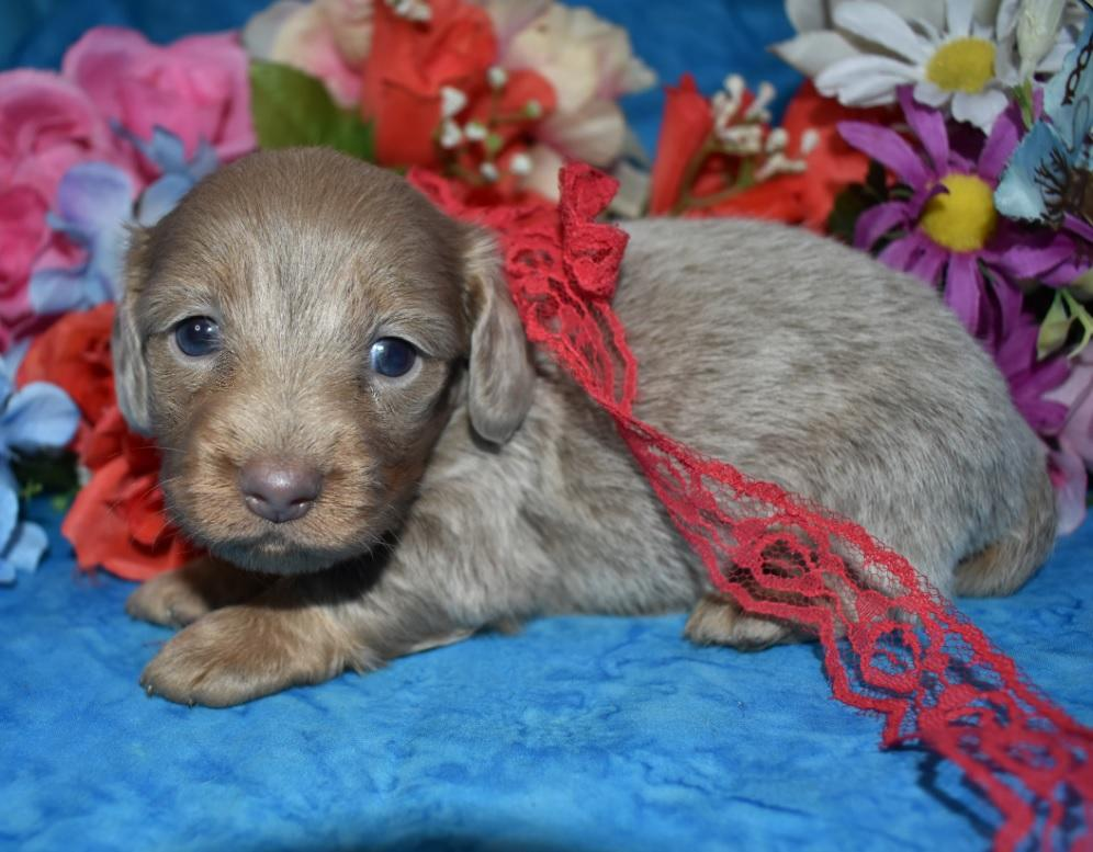 isabelle dachshund for sale near me