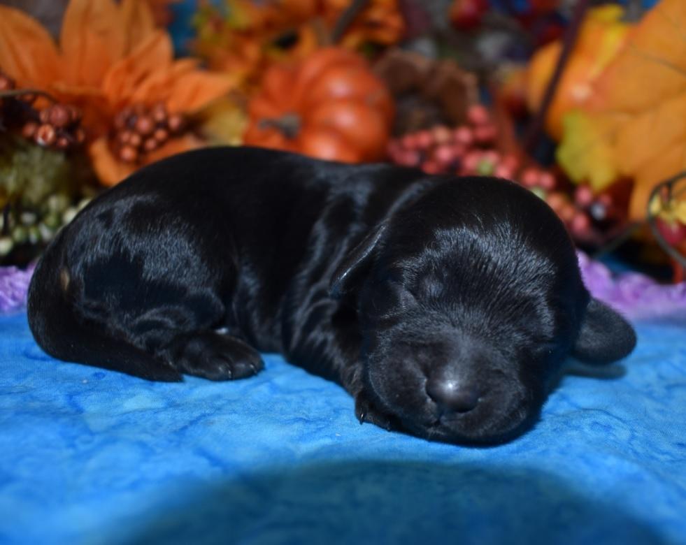 Adorable female black tan cockapoo puppy for sale