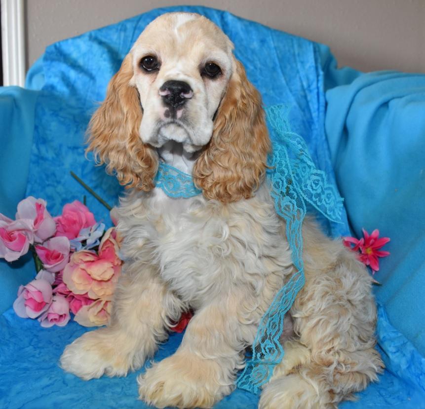 AKC Male Red Buff Parti or Buff Cocker Spaniel Puppy for Sale in Colorado