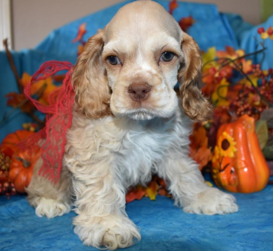 Cocker Spaniel Puppies for sale in Colorado