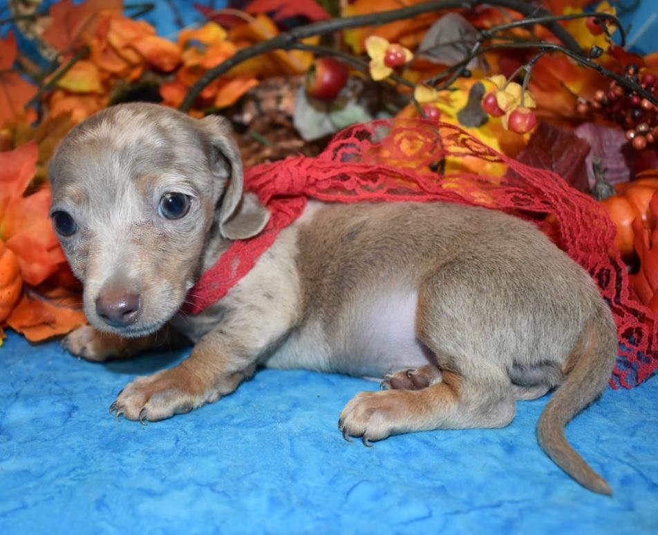 isable tan mini dachshund puppies near me