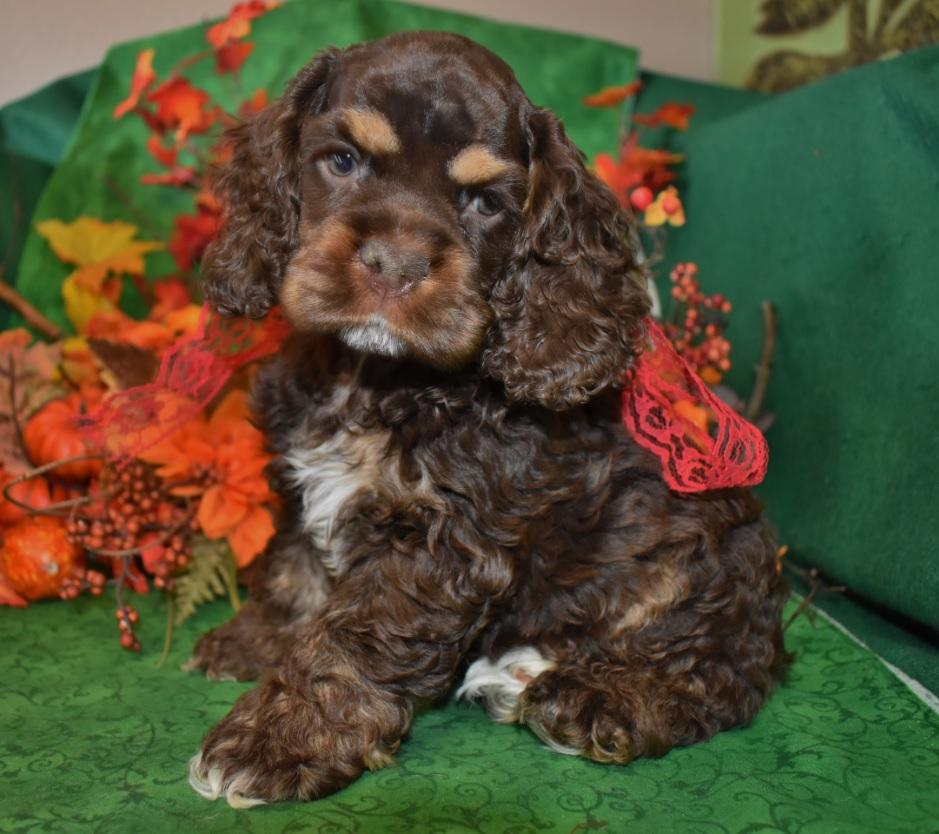 chocolate or chocolate tan or chocolate tri cocker spaniel puppies for sale