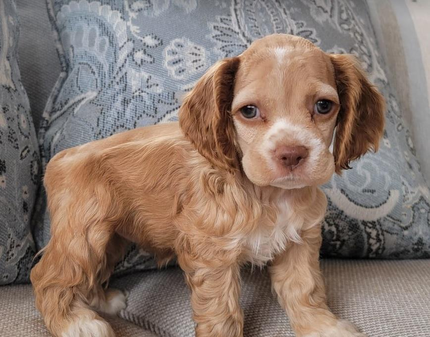 AKC female red buff cocker spaniel puppy for sale in Colorado