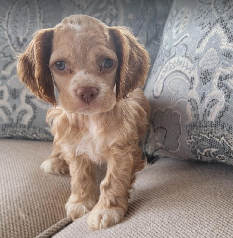 Looking for a female red buff cocker spaniel near me