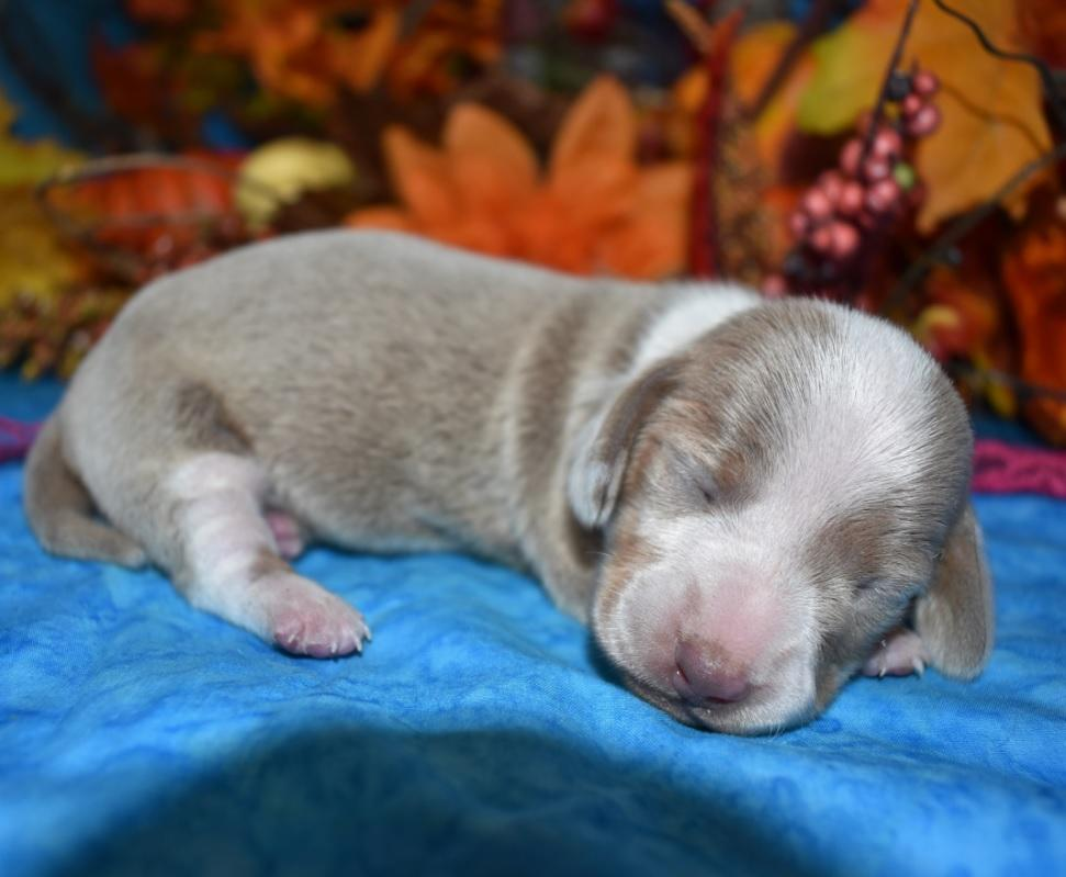 AKC female isabelle tan piebald smooth coat miniature dachshund puppy for sale