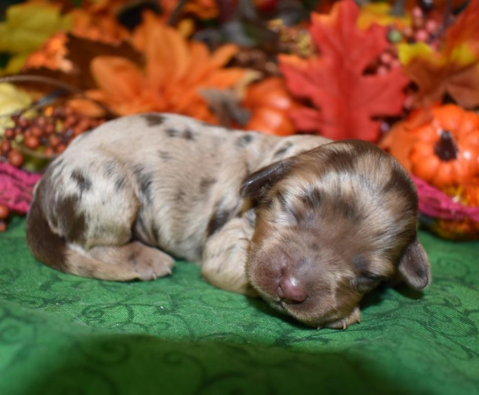 Looking for a female chocolate tan merle cockapoo near me