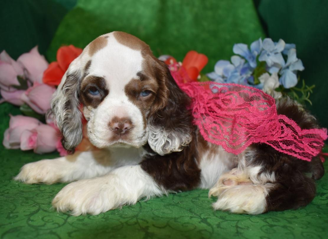 Looking for female chocolate tan merle cocker spaniel puppy for sale