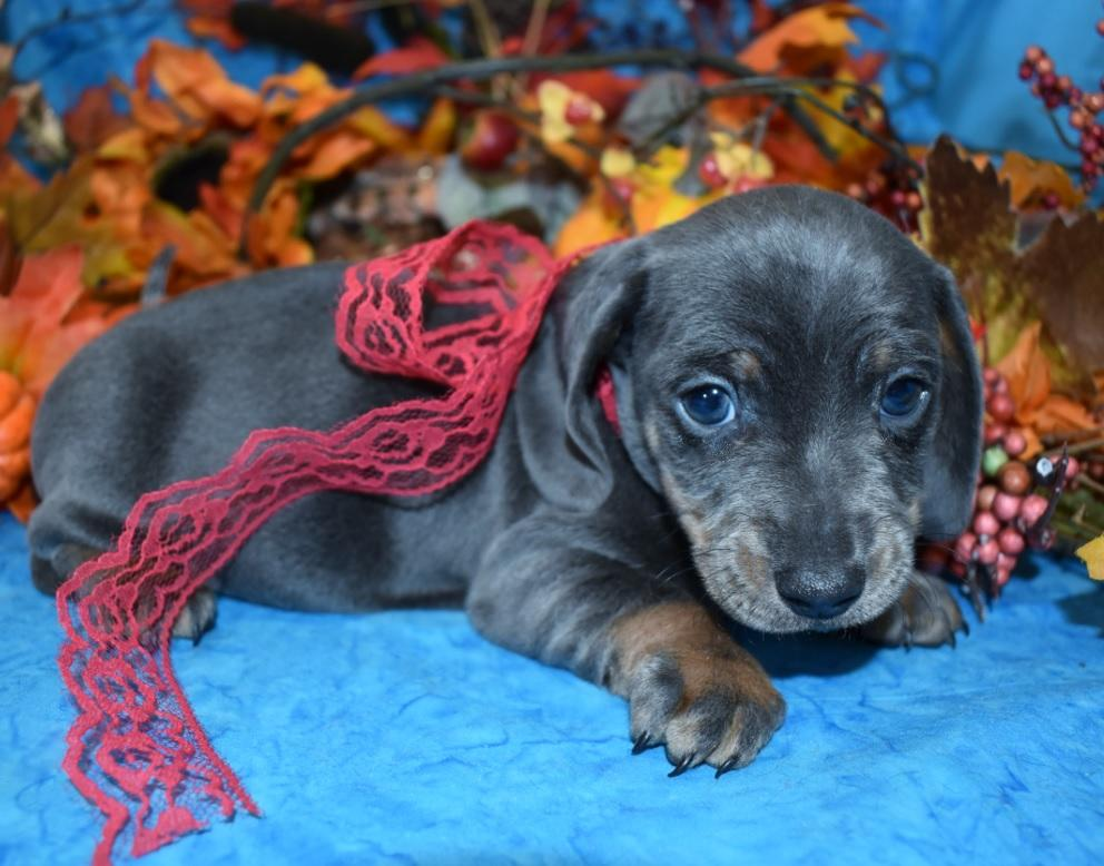 AKC male blue tan smooth coat miniature dachshund puppies for sale near me