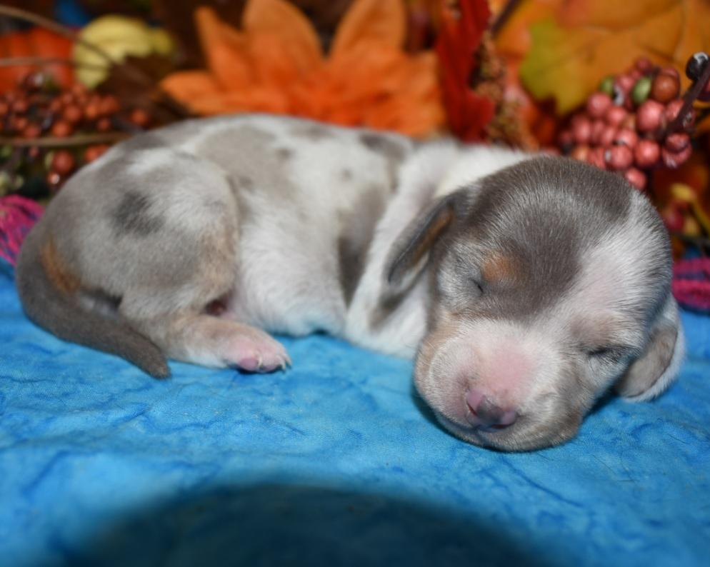 AKC female blue cream dapple smooth coat miniature dachshund puppy for sale in Colorado