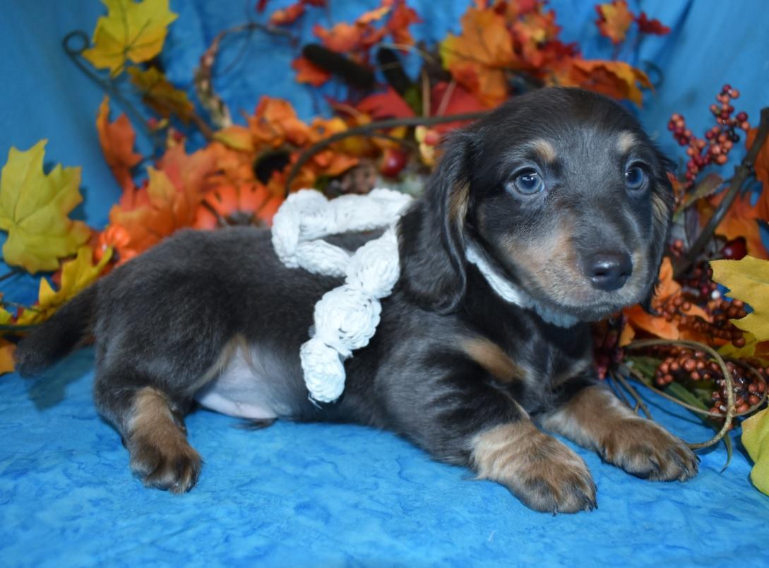 AKC male blue tan longhair miniature dachshund puppy for sale