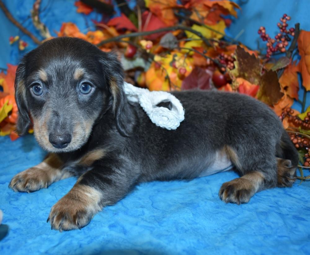 Tanner-blue-tan-longhair-miniature-dachshund9.4
