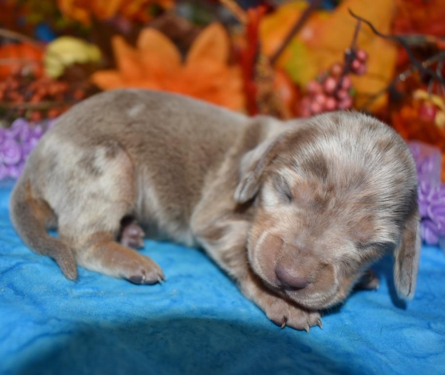 Winnie-isabelle-tan-dapple-smooth-coat-miniature-dachshund2.1