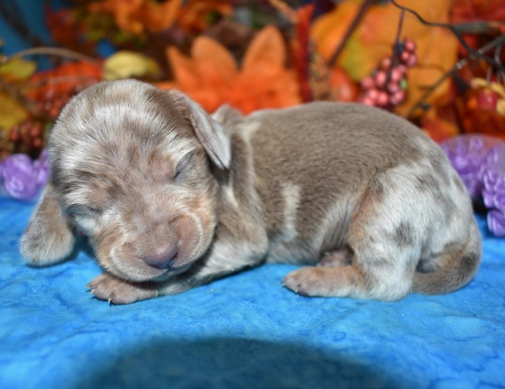 isabelle tan dapple miniature dachshund puppies for sale