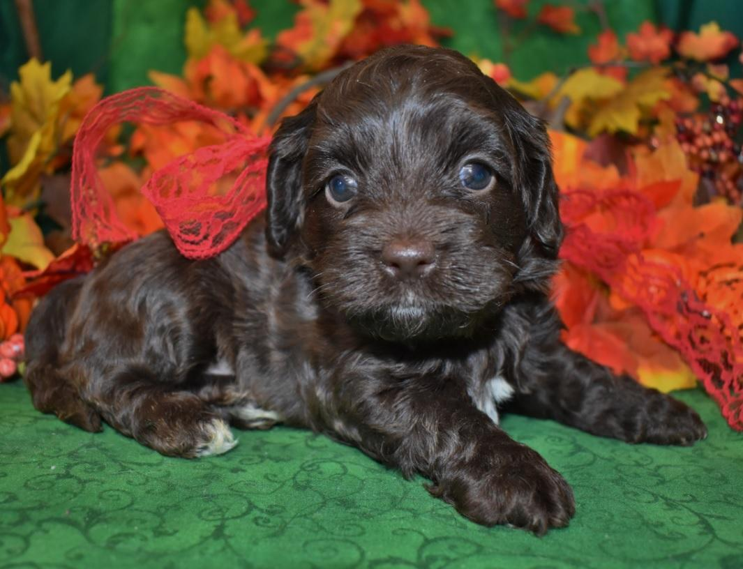 Adorable chocolate cockapoo puppies so cute!