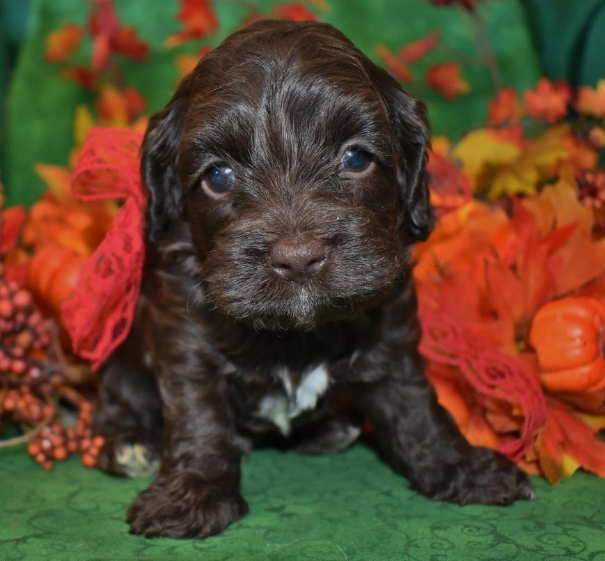 Looking for a male chocolate cockapoo puppy for sale near me