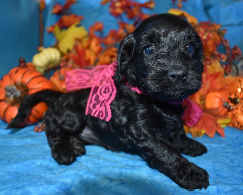 Locking for a female black cockapoo puppy for sale near me.