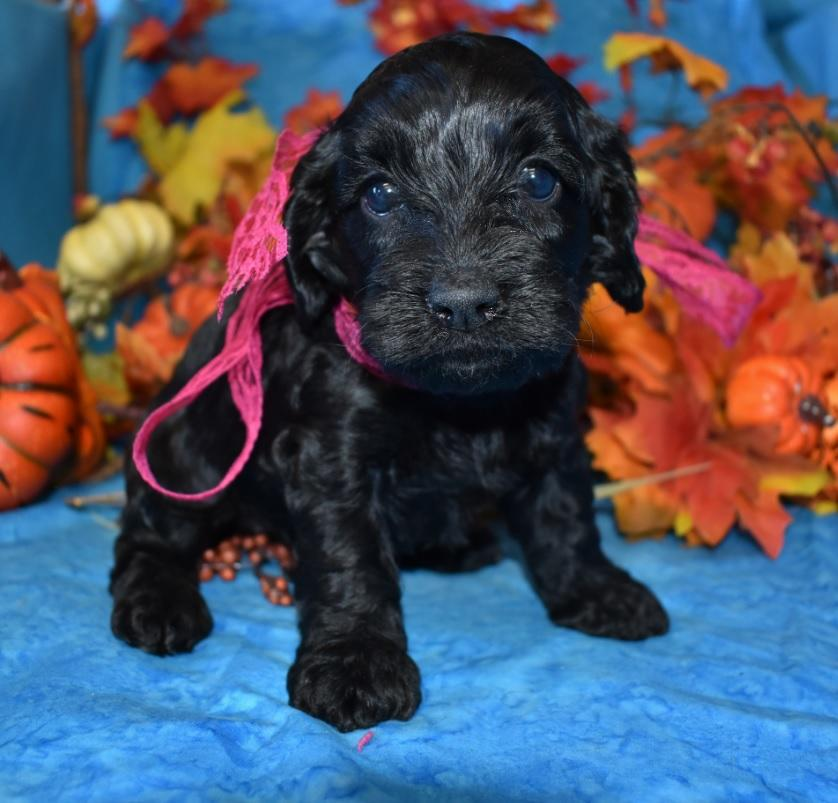 black, black tan, apricot, red, chocolate, chocolate tan cockapoo puppies for sale in Colorado