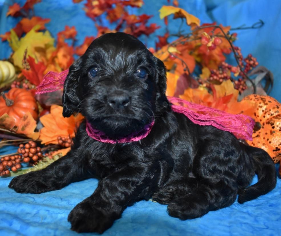 Cleo-black-cockapoo-puppies-for-sale4.3
