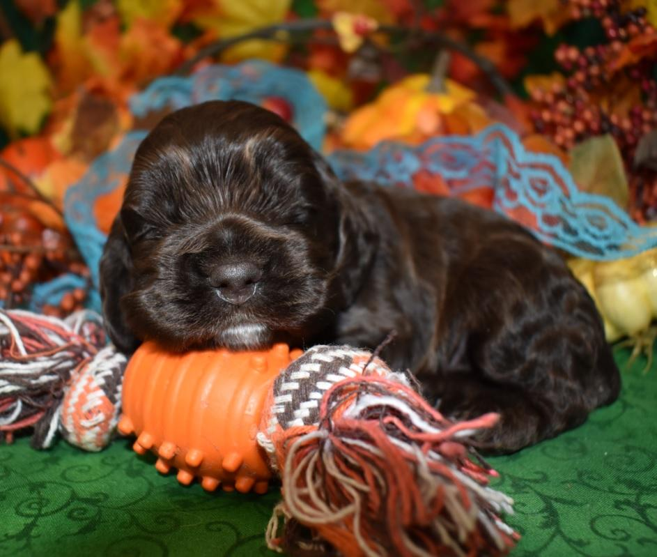 Looking for a male chocolate cocker spaniel