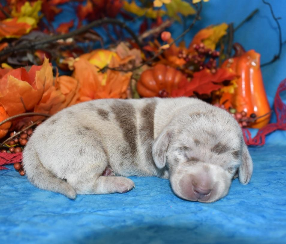 • We have Blue Dachshunds, Black and Tan, Red, Chocolate Dachshunds, Isabella, Cream Dachshund Puppies For Sale in Long and Short Hair