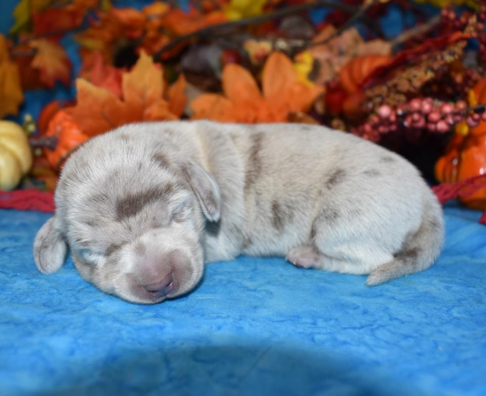 Miniature Smooth Coat and longhair dachshund puppies in all colors