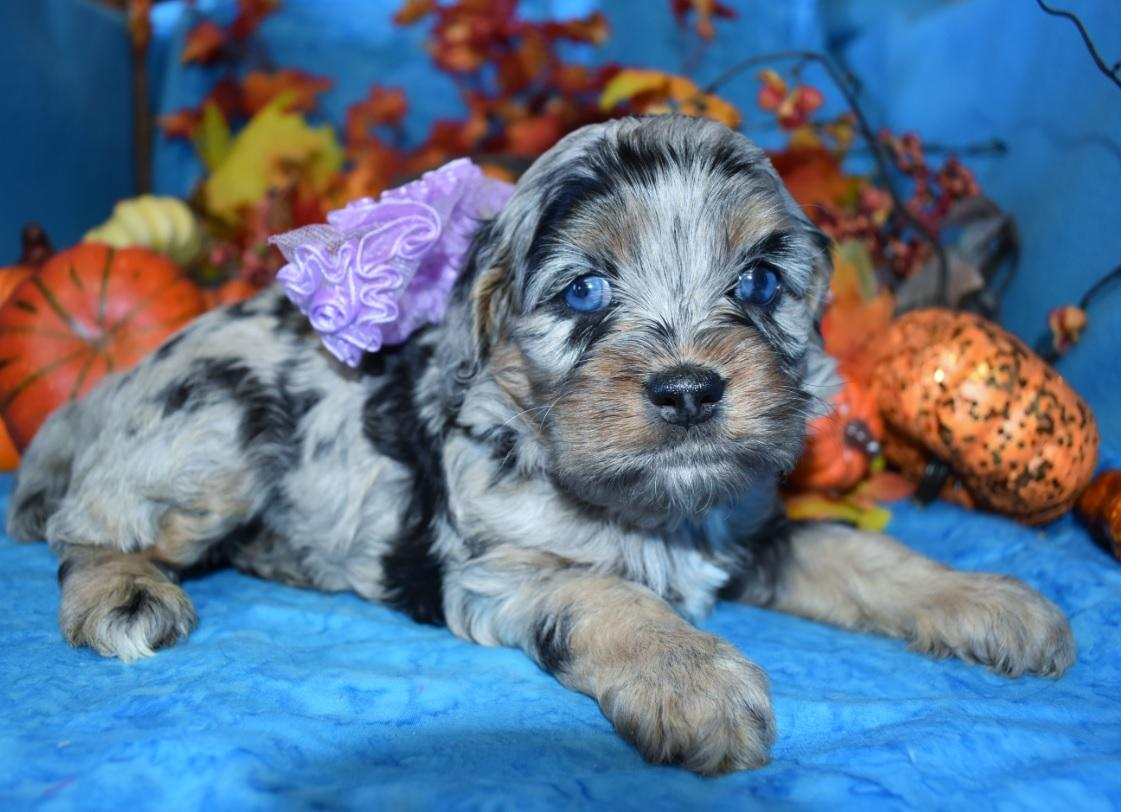 Looking for a female calico blue tan merle cockapoo with blue eyes near me