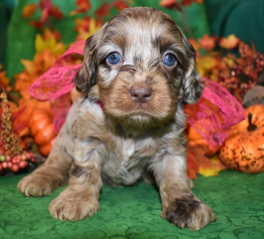 Cockapoo puppies for sale in Colorado