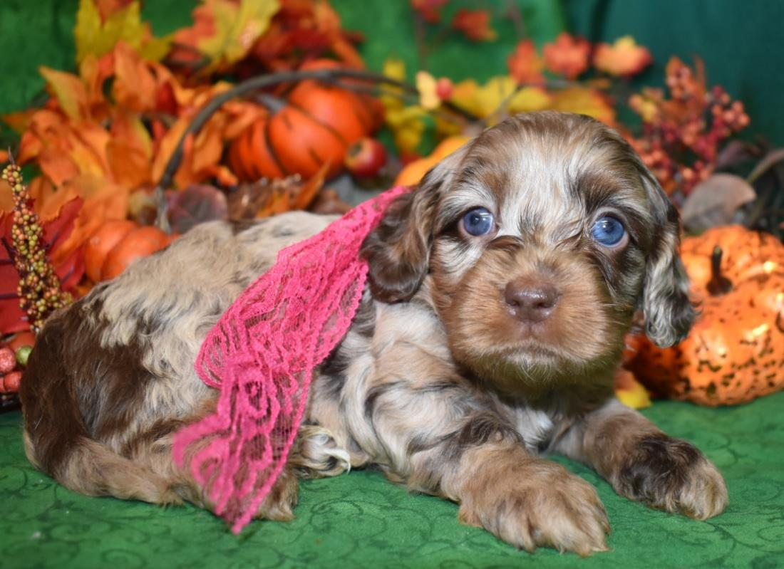 red, apricot, merle, sable, tri-colored cockapoo puppiesp for salearti