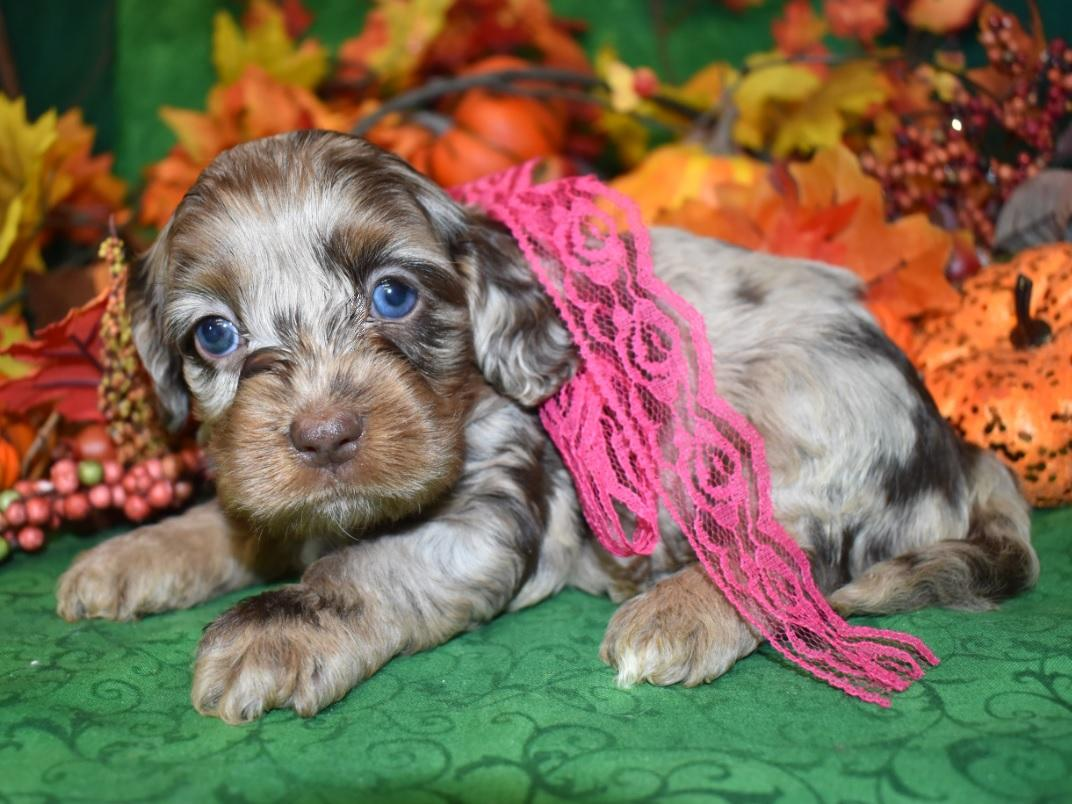 calico chocolate tan merle blue eyes cockapoo puppy for sale near me