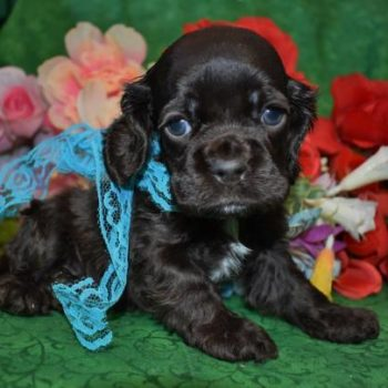 AKC Male Chocolate Cocker Spaniel Puppy for Sale in Colorado