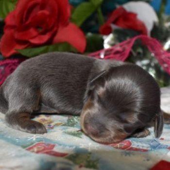 Female Blue Tan LH AKC Miniature Dachshund Puppies for sale