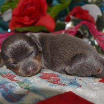 Female Blue Tan LH Miniature Dachshund Puppies for sale