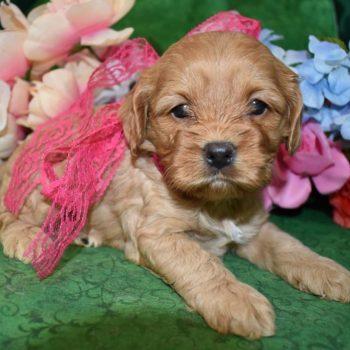 Female Buff Cockapoo Puppies for sale