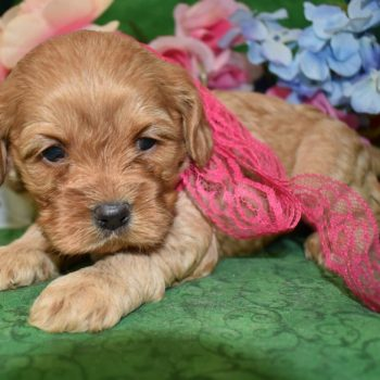 Mary's Cocker Haven Buff Cockapoo Puppies for sale.