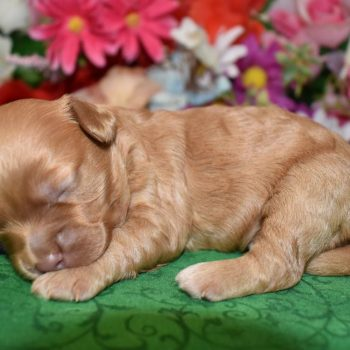 buff cockapoo puppies for sale