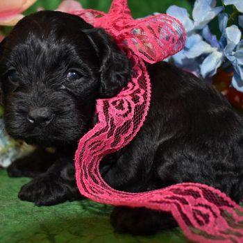 Female Black Cockapoo Puppies for sale in Colorado