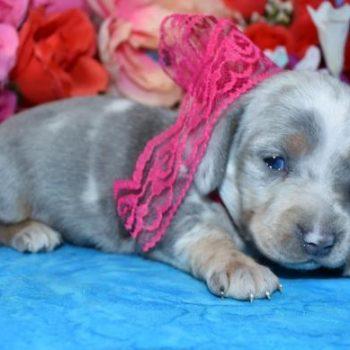 AKC Champion Bloodline Blue Cream Dapple Miniature Dachshund Puppies Available in Colorado