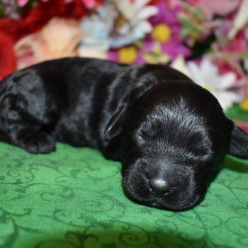 black cockapoo puppies for sale in Colorado
