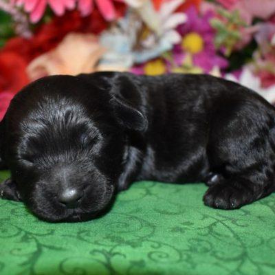 black cockapoo puppy for sale