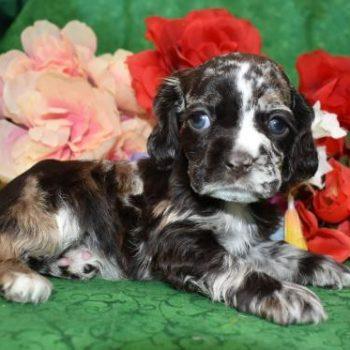 AKC Female Calico Chocolate Merle Cocker Spaniel Puppy for Sale in Colorado