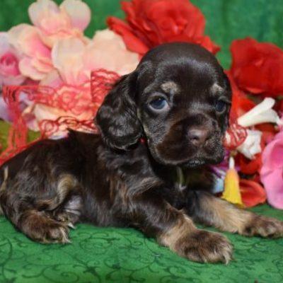 AKC Male Chocolate Tan Cocker Spaniel Puppy for Sale in Colorado