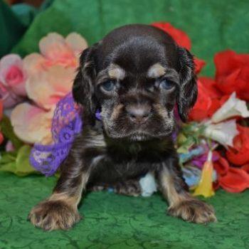 AKC Female Chocolate Tan Cocker Spaniel Puppies for sale