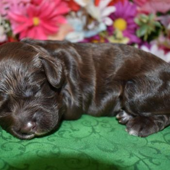 female chocolate cockapoo puppies for sale