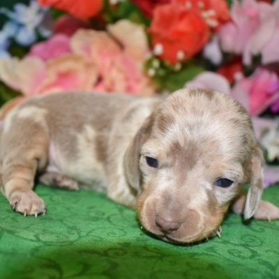 isabelle tan dapple miniature dachshund puppies